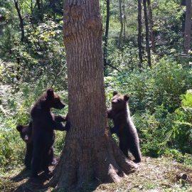 Медвежата — сироты